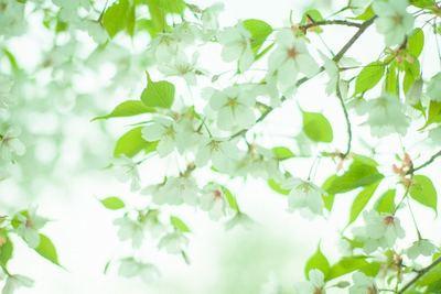 桜f1e738dbfedd2d7b08f574f8149b6a87_s.jpg