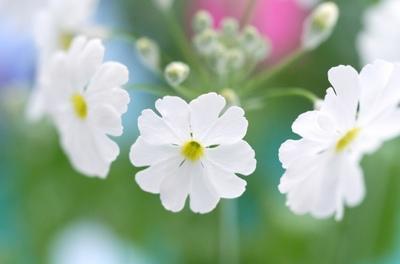 水星のウォッシュ(白花).jpg