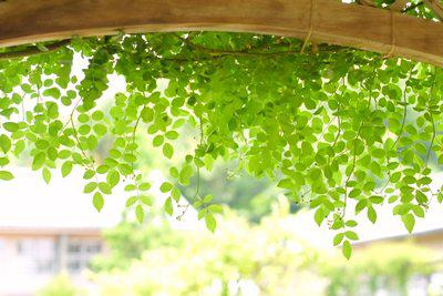 ゲルソン療法緑の葉.jpg